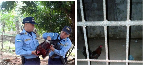 Rooster Arrested & Locked up in Prison for causing Trouble in Peru (See Photos)