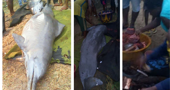 Two Mighty Dolphins Caught And Slaughtered In Bayelsa State (See Photos)